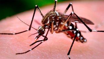 Alertan sobre la posible expansión de dos virus que transmiten los mosquitos