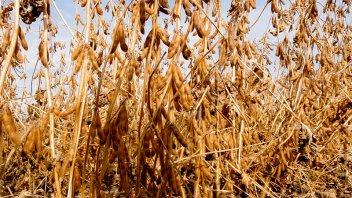 La soja tocó su menor valor en una década y se