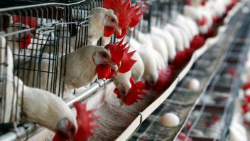 Quejas de productores avícolas por la