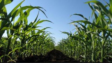 Falta de lluvias: El maíz de primera es el cultivo más afectado en la provincia