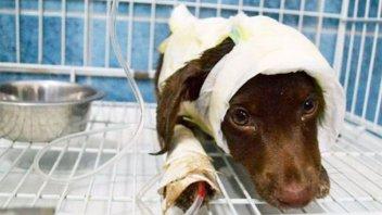 Un año de prisión condicional para acusado de despellejar al perro Chocolate