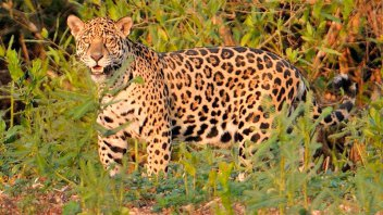Denuncian que cazadores mataron un yaguareté, que está en riesgo de extinción