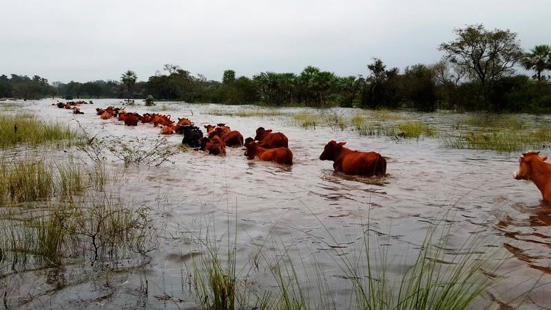 En Formosa, los productores deben arriar el ganado a través del agua