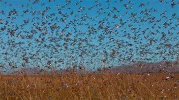 La plaga de la langosta tiene su mayor explosión demográfica en más de 60 años