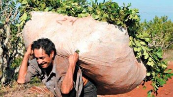 Yerbateros amenazan con hacer paro si no les pagan $13,5 el kilo de hoja