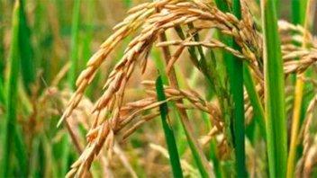 En Entre Ríos, la siembra de arroz se retrasó por las lluvias