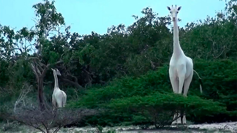 Las dos jirafas blancas que sufren de leucismo.