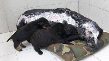 Amamantaba sus cachorros y le tiraron aceite hirviendo: Siguió a pesar del dolor