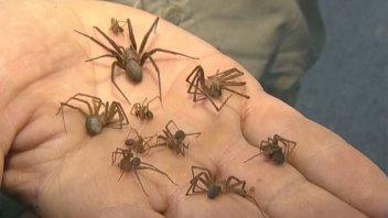 Cómo reconocer a la araña de rincón y prevenir su peligrosa picadura