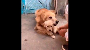 El video viral de una perra que protege a su cachorro cuando lo quieren tocar