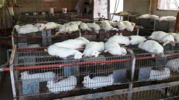 Murieron 400 conejos y 2 mil pollos en criaderos debido al calor extremo