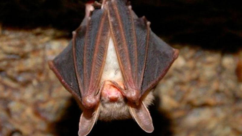Mar del Plata: Un murciélago con rabia mordió a un nene
