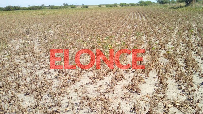 La soja destruida por la sequía en San Salvador.-