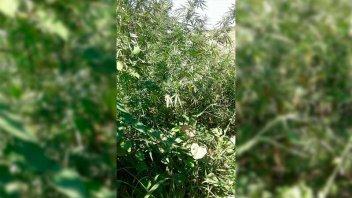 Secuestraron 70 plantas de marihuana de considerable tamaño en allanamiento