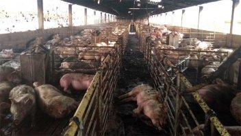 Murieron 800 cerdos en un voraz incendio: Desoladoras imágenes