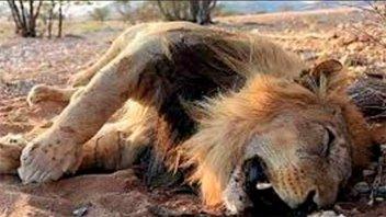 Once leones mueren envenenados en un parque nacional en África
