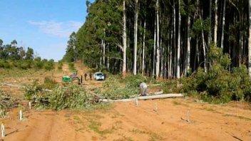 Detuvieron a tres hombres que talaban un monte de eucaliptus sin autorización