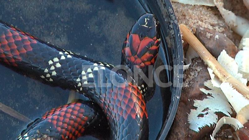 La producción de los antídotos se hace con el veneno de las serpientes.