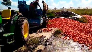 Productores tiraron gran cantidad de tomates: Les ofrecen $ 1,50 por kilo
