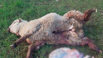 Perros mataron 40 ovejas en un campo y las pérdidas superan los $ 150 mil