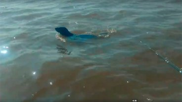 Video: Registraron el paso de un lobo marino por las aguas del río Uruguay