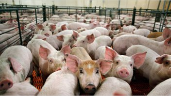 El sector porcino, en pleno auge: crecieron producción, consumo y exportaciones
