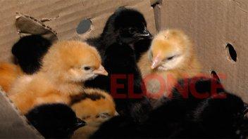 Entregaron 1500 pollitos BB a las distintas vecinales de Paraná