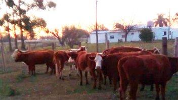 Secuestraron y sancionarán a dueño de animales sueltos en la vía pública