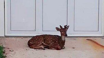 Gran sorpresa: se levantó y halló dentro de su casa un ciervo herido