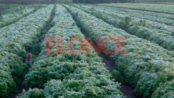La helada tiñó de blanco la producción hortícola de Paraná