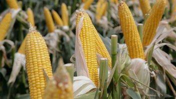 Mantienen las previsiones de producción de soja, maíz y trigo de la Argentina