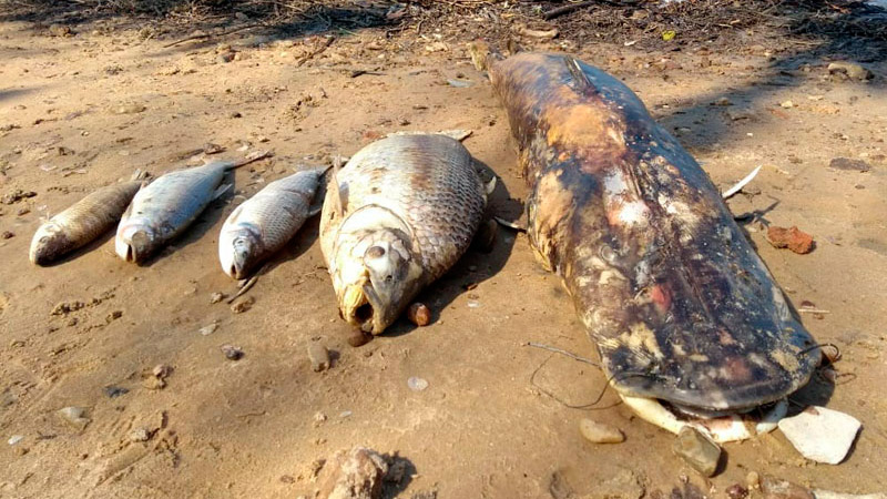 Peces muertos en la costa de Banco Pelay