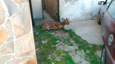 Un guazuncho y un ciervo sorprendieron en el centro de dos ciudades entrerrianas