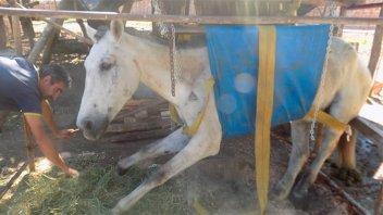 Colgada en un arnés, se recupera una yegua que sufrió brutal maltrato
