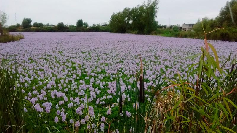 Camalotes florecidos en el delta entrerriano.
