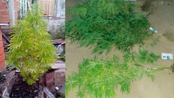 Secuestran cuatro plantas de marihuana de más de un metro de alto