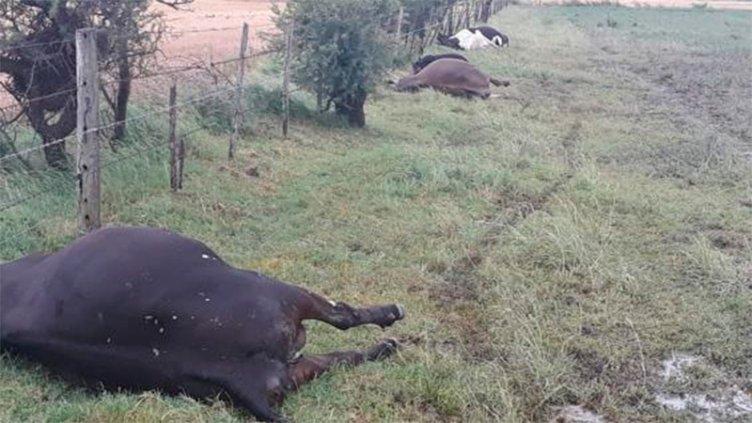 Una centella mató vacas en un tambo de localidad cordobesa