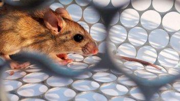 Uruguay activó protocolos de prevención por hantavirus