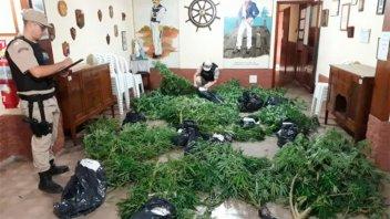 Prefectura secuestró plantas de marihuana en Colón