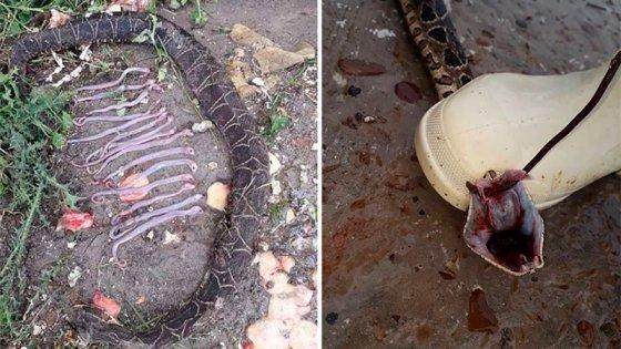 Lo que dejan las inundaciones: Mataron una yarará con 15 crías en su interior