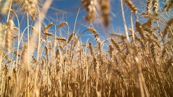 En Entre Ríos la expectativa siembra de trigo se mantiene a buen nivel