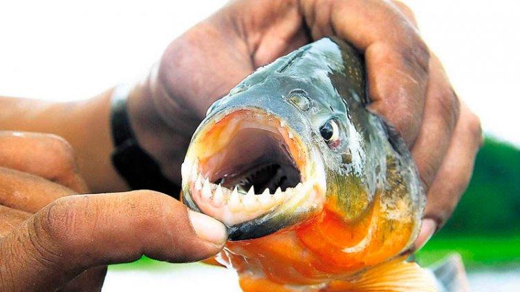 Preocupa el ataque de palometas a bañistas en una zona del Lago de Salto Grande