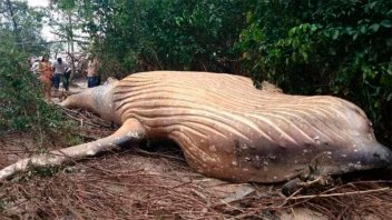 Insólito: apareció una ballena en plena selva amazónica de Brasil