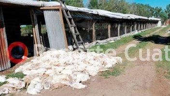 Más de 3 mil pollos murieron por el calor en una granja de San Salvador