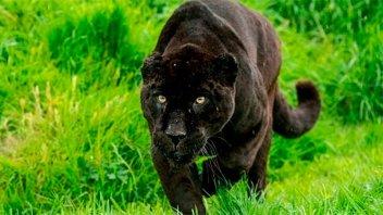 Un jaguar atacó a una mujer que se acercó a su jaula para tomarse una selfie