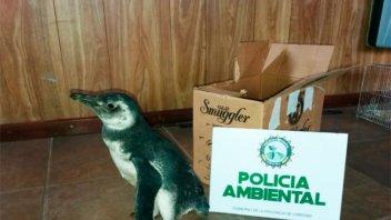 Fueron de vacaciones a la Costa y se trajeron un pingüino de mascota