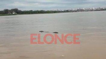 Video: un yacaré sorprendió a vecinos que navegaban en el río Paraná