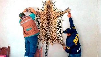 Salta: Cazaron un yaguareté y exhibieron su cuero en un hostal