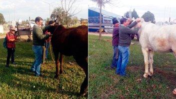 En Concepción del Uruguay colocan chips a caballos que andan en la vía pública