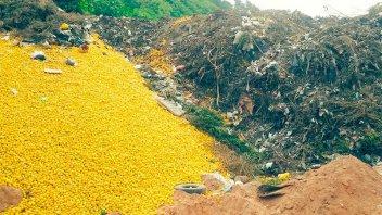 Por qué en Tucumán tiran limones: hay riesgo de que se pierdan 150.000 toneladas